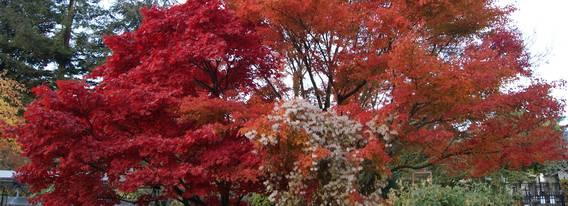 Erable japonais du Jardin botanique