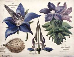 Borago-officinalis-collection enseignement